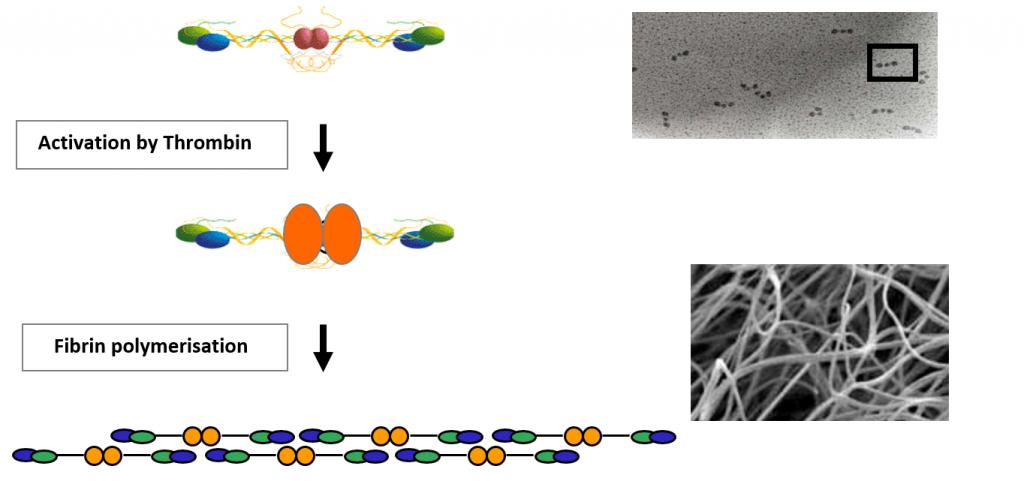 Fibrin polymerisation